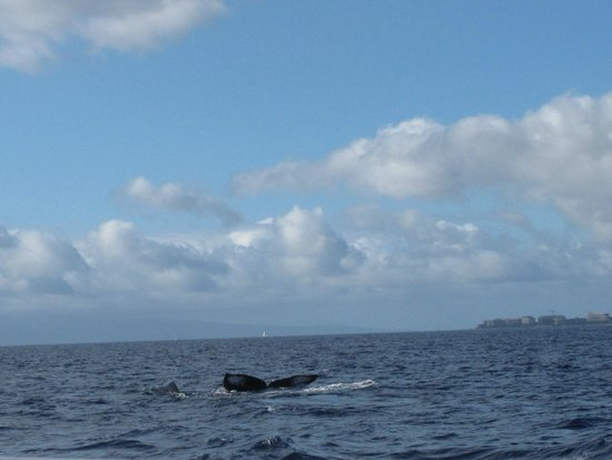 Pacific Whale Foundation: Whale fluke up dive