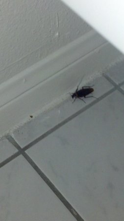 The Anaheim Hotel: Cockroach at the Anaheim Plaza Hotel and Suites
