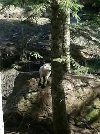 Aran Park: Lobo blanco