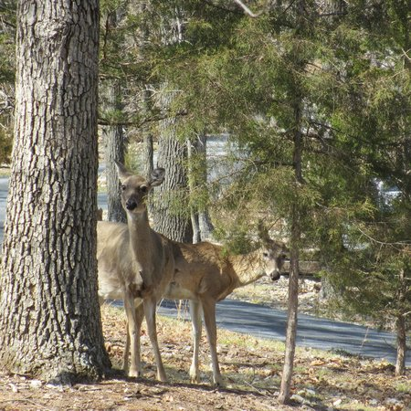 Beaver Lake Cottages: deer