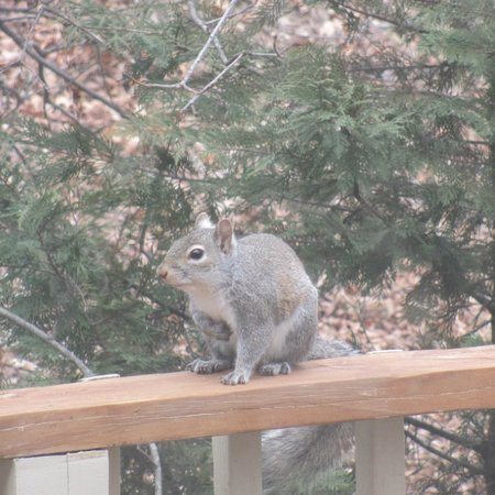 Beaver Lake Cottages: squirrel on the deck rail