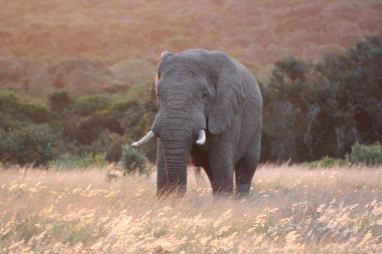 Shamwari Game Reserve Lodges: Elephant