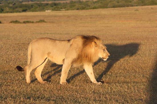 Shamwari Game Reserve Lodges: Lion