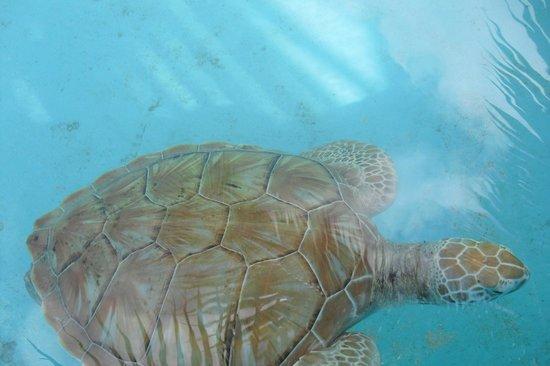 Sea Turtle Hatchery: beautiful shell