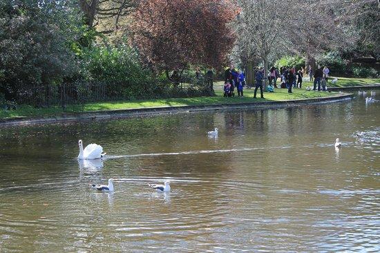 Parque St Stephen's Green: Cisne