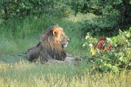 Bumi Hills Safari Lodge & Spa : Super Safaris mit großem Löwenvorkommen