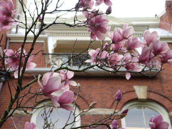 Bonnie Blue Walking Tours of Savannah: Japanese magnolia in bloom