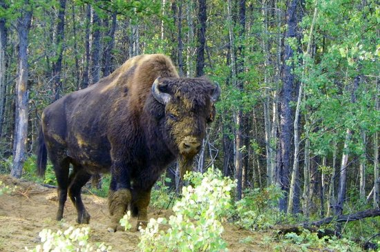 Wood Buffalo National Park: WBNP