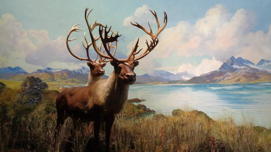 American Museum of Natural History: Alces