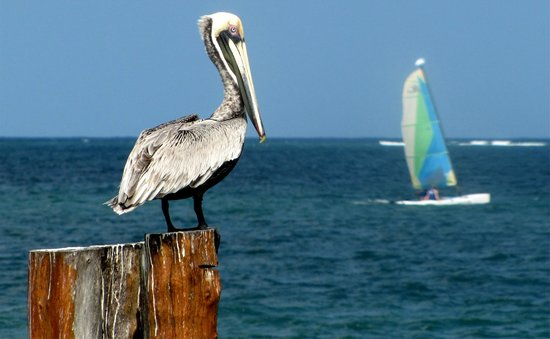 Excellence Riviera Cancun : Pelican and sail boat