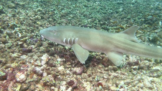 Brown Banded Bamboo Shark Picture Of Flores Diving