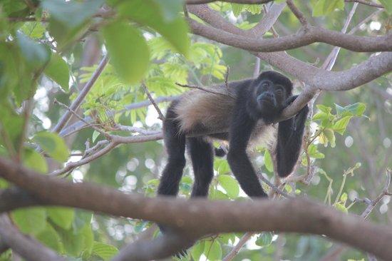 Occidental Tamarindo: Howler Monkey at Resort by Pool