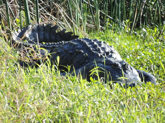 Circle B Bar Reserve : This alligator was not close to me