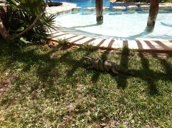 Hotel Villas Delfines : iguana