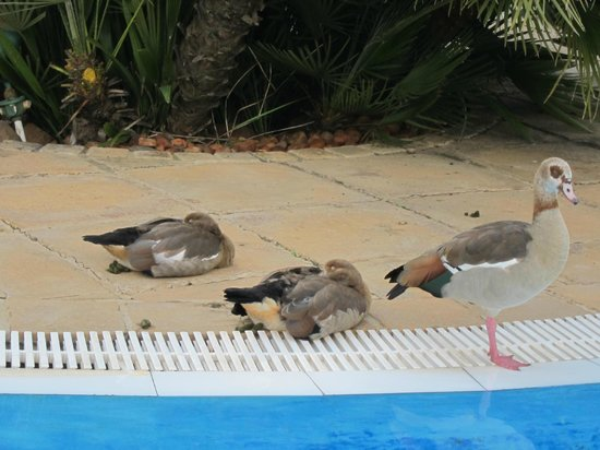 Hilton Sandton: Geese living and defecating by the pool