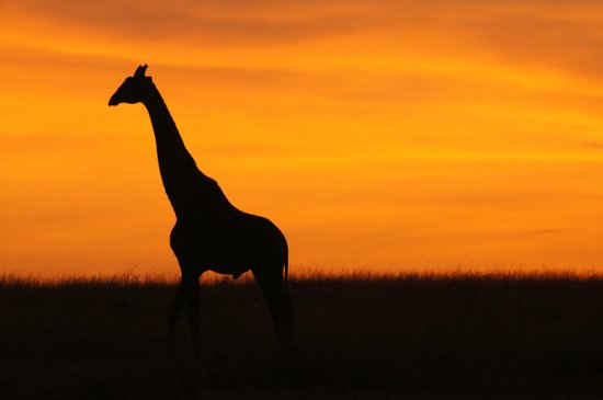 Eyes on Africa Safaris Day Tours: Giraffe silhouetted in the sunrise on the Mara