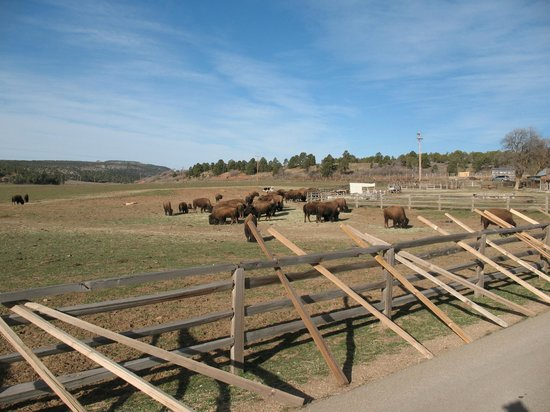 Zion Mountain Ranch : View of Bison