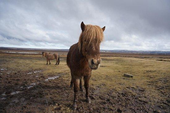 Iceland Horizon : lovely horse