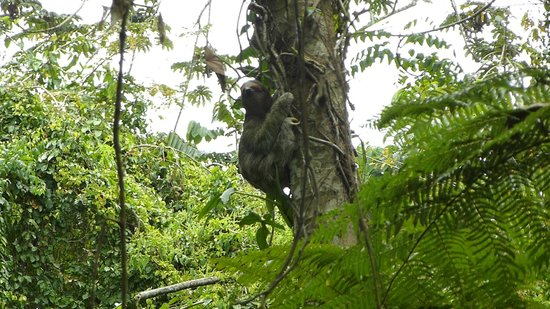 Ecocentro Danaus: Rare view of a sloth coming down the tree