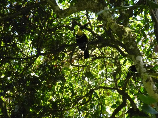 Ecocentro Danaus: Family of toucans
