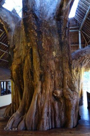 Tarangire Treetops: Tree in main lodge