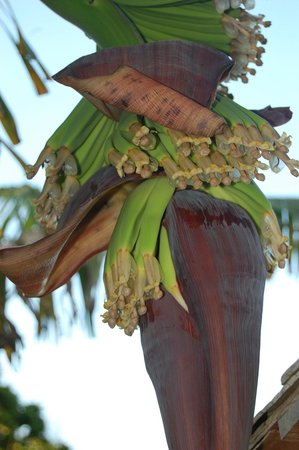 Jamaica Inn : Banana Tree