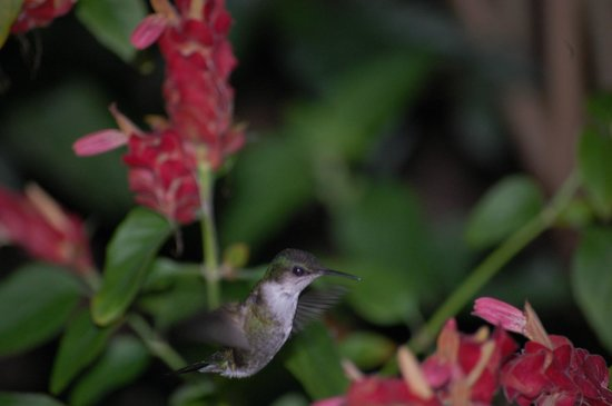 Jamaica Inn: Hummingbird's 5:30 feeding