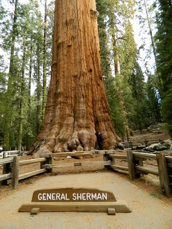 Wuksachi Lodge: general Sherman tree