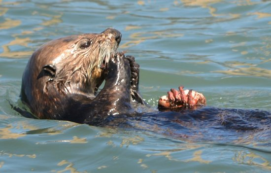 Sub Sea Tours and Kayaks : Otter Eating Crab