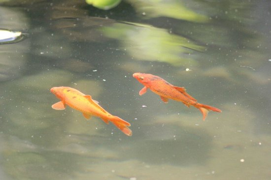 Tropical Gardens of Maui: There was a pond with cute little koi and a turtle sunning itself