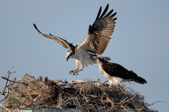 Baja Ecotours : Ospreys nesting atop the baños