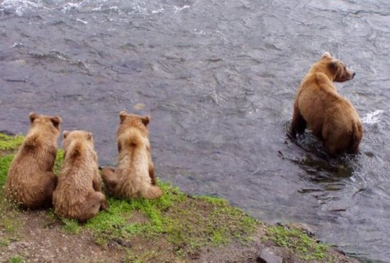 Kodiak Island Van Tours: Brown Bear Cubs & Mom Fishing