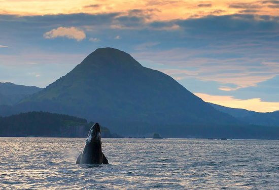 Kodiak Wildlife Tours: Humpback Whale Spy Hopping