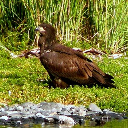 Kodiak Wildlife Tours: Immature Bald Eagle