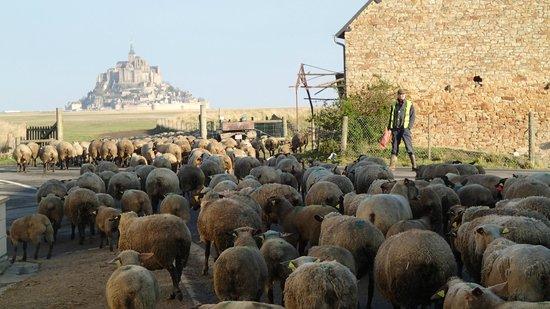 Auberge de la Baie: 羊たちの出勤風景