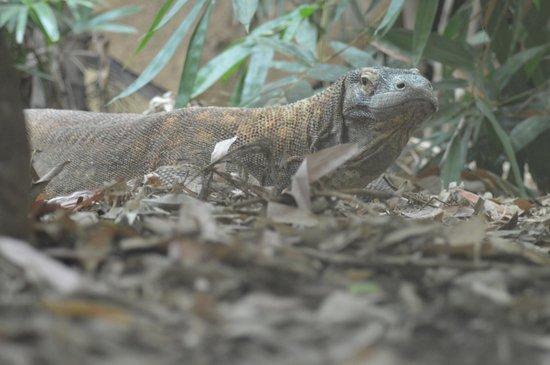 ZSL London Zoo : Komodo Dragon