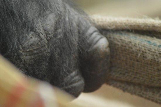 ZSL London Zoo : Gorilla hand close up