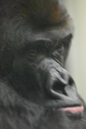 ZSL London Zoo : gorilla face close up:n.b. do NOT use flash