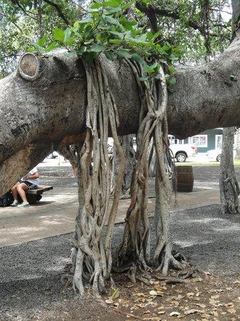 Banyan Tree Park : Part of the famous Banyan Tree at Lahaina