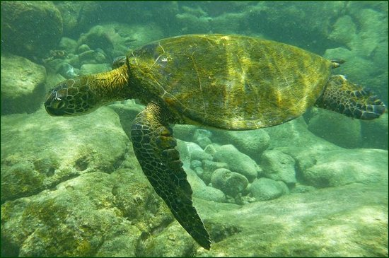 Honaunau Bay: Turtle at Honaunau