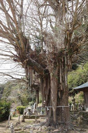 Kosazuke Ginkgo Tree in Kosenji Tmple