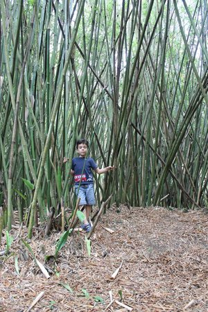 Koreshan State Park: bamboo forests