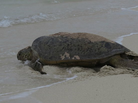 Heron Island Resort: Turtle returning to the ocean after laying her eggs