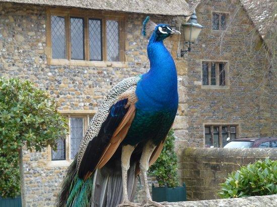 Bailiffscourt Hotel: Resident peacock!