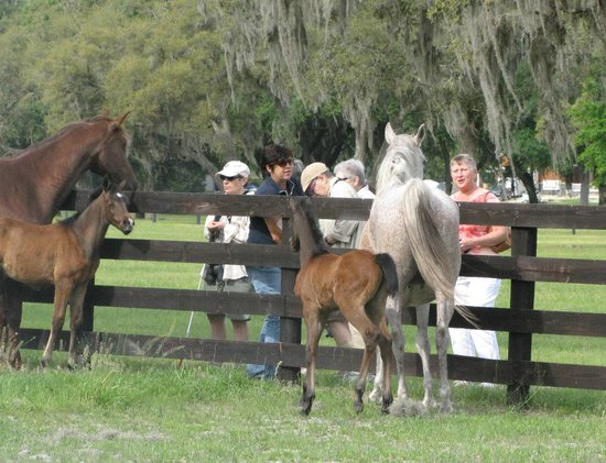 Farm Tours of Ocala: Feeding the mares with their foals