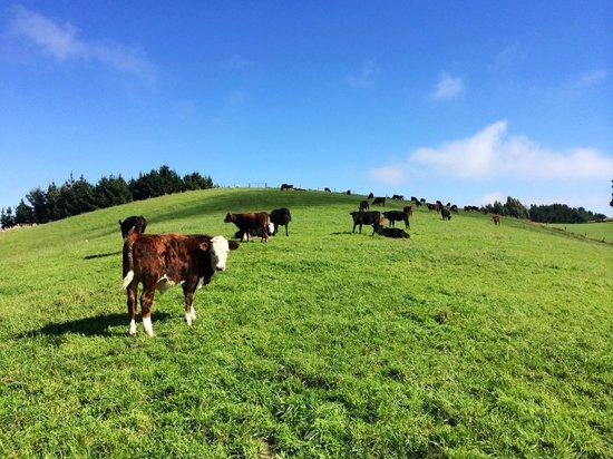 Gumtree Farmstay : Cows on a meadow