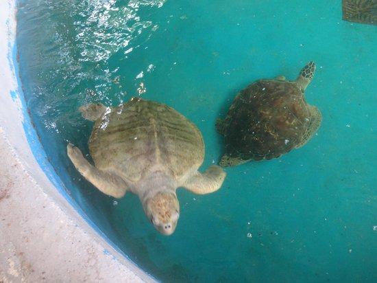 Aracaju Aquarium - Tamar: Tartarugas do Oceanário de Aracaju
