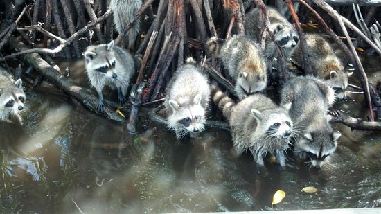Captain Jack's Airboat Tours: Raccoons in the Everglades Red Mangroves