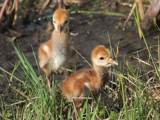 Ritch Grissom Memorial Wetlands: sandhill colts