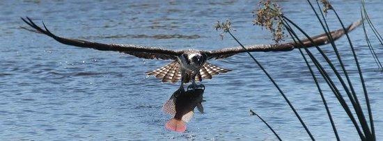 Ritch Grissom Memorial Wetlands: Osprey